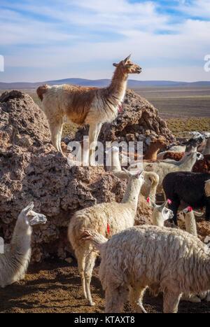 Lamas herd in Bolivia - Stock Photo