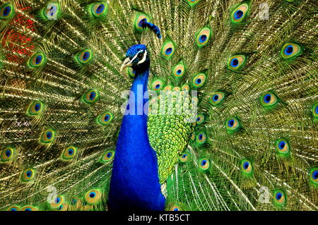 A close up of a beautiful male peacock showing off its pretty tail feathers. - Stock Photo