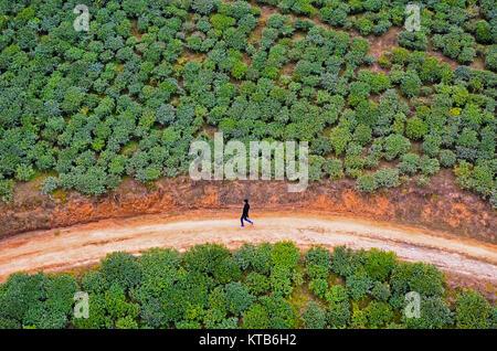 Overhead view from Darjeeling Ropeway - A lone man walking on a narrow mud road through tea plantation. - Stock Photo