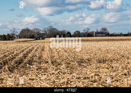 corn field in east hampton, ny - Stock Photo