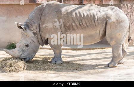 Rhinoceros eating grass, Ceratotherium Simun - Stock Photo