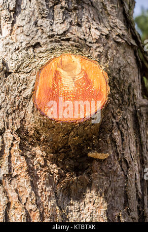 closeup of cut branch on a tree. The cut is open and gives a look to the brown tree - Stock Photo