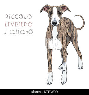 Vector Italian Greyhound Dog breed - Stock Photo