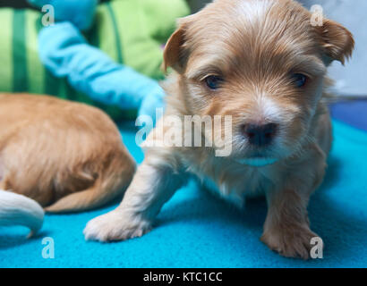Tired, small Havaneser puppy looks into the camera - Stock Photo