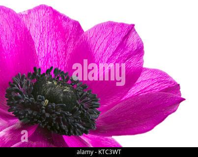Isolated purple anemone flower blossom - Stock Photo