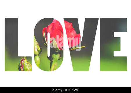 Word LOVE over red rose. - Stock Photo
