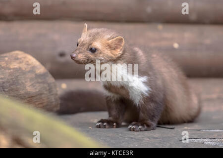 Stone Marten (Martes foina) also known as Beech Marten or House marten. Resting and relaxing in backyard of residential - Stock Photo