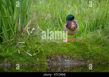 duck stands between the grass on the waterfront - Stock Photo