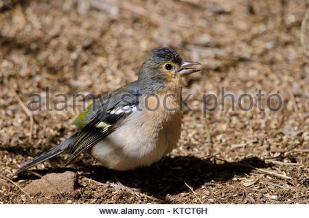 Common chaffinch (Fringilla coelebs canariensis). Male calling. The Nublo Rural Park. Tejeda. Gran Canaria. Canary - Stock Photo