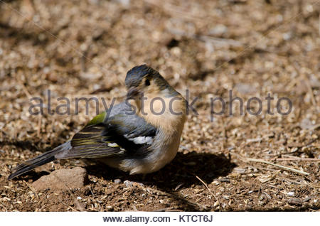 Common chaffinch (Fringilla coelebs canariensis). Male preening. The Nublo Rural Park. Tejeda. Gran Canaria. Canary - Stock Photo