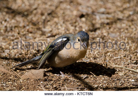 Common chaffinch (Fringilla coelebs canariensis). Male stretching. The Nublo Rural Park. Tejeda. Gran Canaria. Canary - Stock Photo