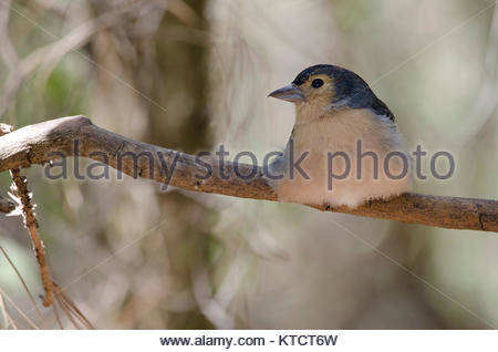 Common chaffinch (Fringilla coelebs canariensis). Male resting. The Nublo Rural Park. Tejeda. Gran Canaria. Canary - Stock Photo