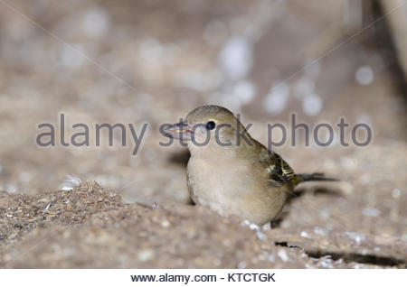 Common chaffinch (Fringilla coelebs canariensis). Female eating. The Nublo Rural Park. Tejeda. Gran Canaria. Canary - Stock Photo