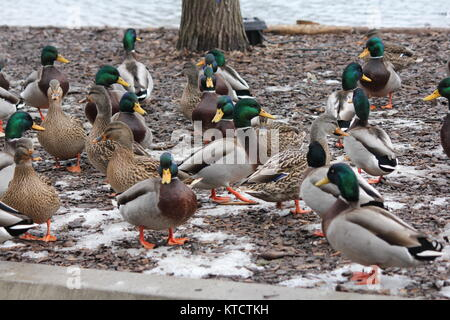 Small group of male and female Mallards (Anas platyrhynchos) standing on dry land. - Stock Photo