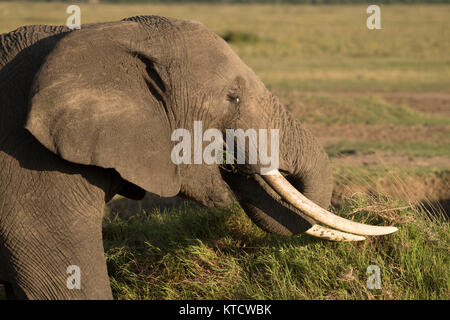 African bull elephant (Loxodonta africana) eating and surveying his territory with magnificent views of the isiara - Stock Photo