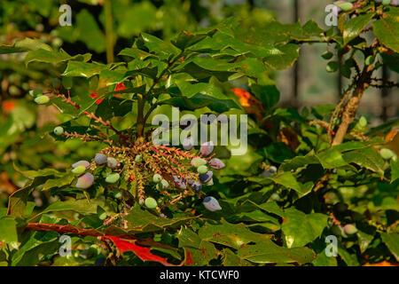 Unripe blue berries on a shrub, selective focus - Stock Photo