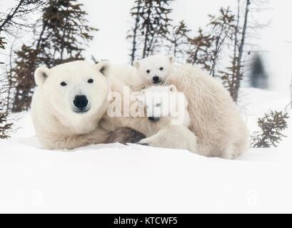 POLAR BEAR BABIES CUDDLING WITH MOM ON THE TUNDRA IN WAPUSK NATIONAL PARK.