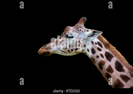 Giraffe, a portrait on a black background Stock Photo