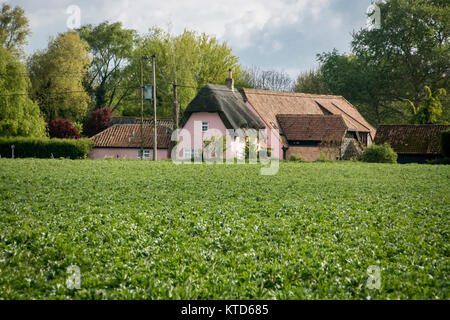 A crop of broad bean plants in flower growing in a field with a pink cottage in the background - Stock Photo