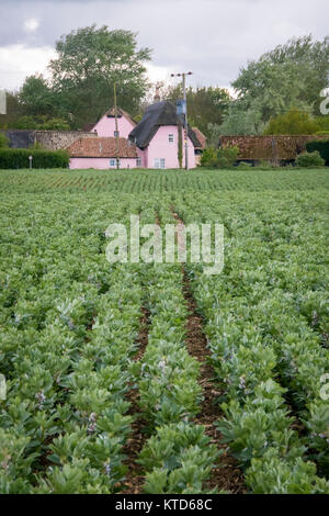 A crop of broad bean plants in flower growing in rows  in a field with a pink cottage in the background - Stock Photo