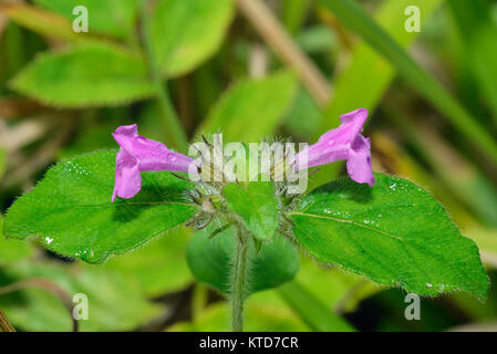 Wild Basil - Clinopodium vulgare  Herb with two flowers - Stock Photo