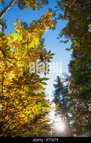 Germany, Rhineland-Palatinate, Palatinate Forest, sweet chestnut tree in autumn, Castanea sativa - Stock Photo