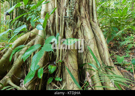 Buttress root on a tree in a rainforest of Andaman islands - Stock Photo