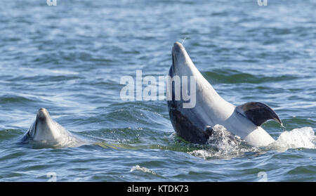 Wild bottlenose dolphin tursiops truncatus - Stock Photo