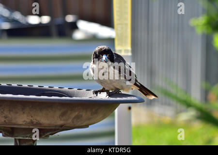 A Juvenile Australian Grey Butcherbird resting on a Birdbath - Stock Photo