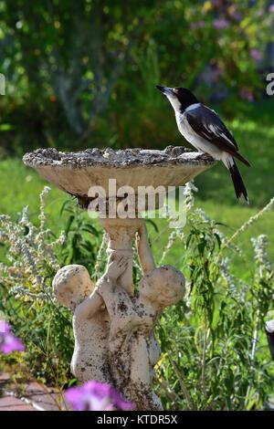 An Australian Grey Butcherbird resting on a Birdbath - Stock Photo