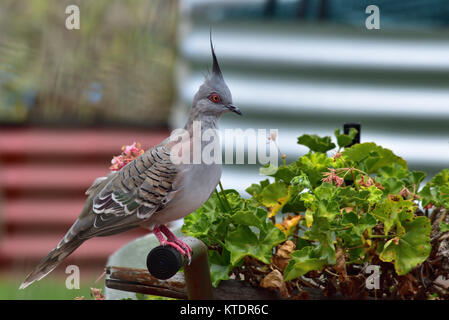 An Australian Crested Pigeon resting on a Garden Wheelbarrow - Stock Photo