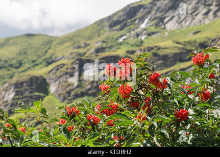 Characteristic and showy small mountain tree with red berries. Sorbus aucuparia, commonly called rowan and mountain - Stock Photo