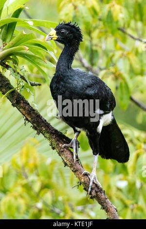 Great Curassow (Crax rubra) Male - La Laguna del Lagarto Lodge - Boca Tapada, San Carlos, Costa Rica - Stock Photo