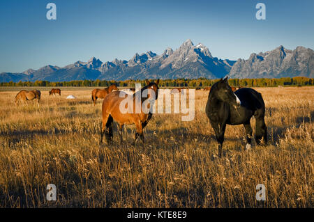 Wild Mustangs in the open range of the Rocky Mountains. - Stock Photo