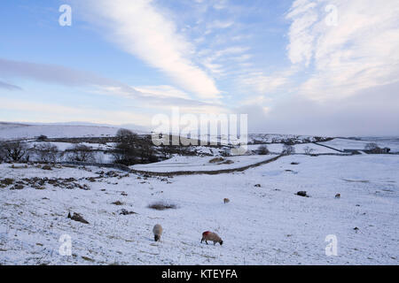 Sheep grazing in snow covered fields in Ribblesdale, Yorkshire Dales - Stock Photo