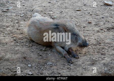 Indian boar (Sus scrofa cristatus) - Stock Photo