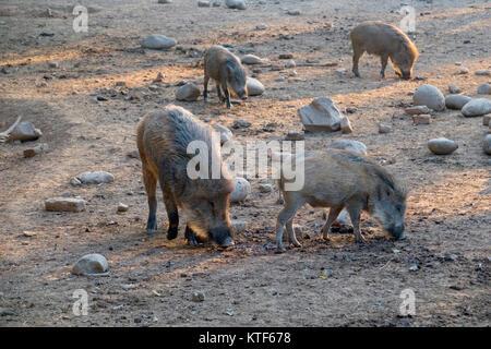 Indian boar (Sus scrofa cristatus) foraging - Stock Photo