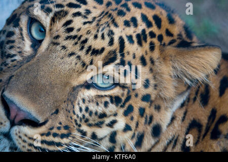Closeup portrait of Indian leopard (Panthera pardus fusca) - Stock Photo