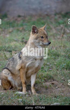Indian wolf (Canis lupus pallipes) at Chhatbir Zoo, Punjab,India - Stock Photo