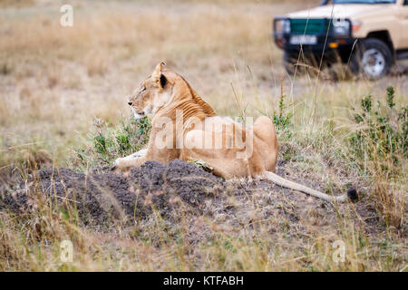 Lioness (Panthera leo) laying on a mound of soil in savannah grassland with a nearby safari vehicle in the Masai - Stock Photo