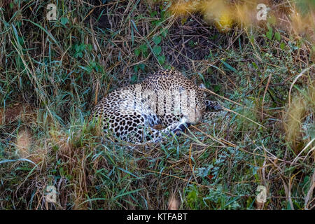 Adult female leopard (Panthera pardus) curled up asleep, dozing in undergrowth, Masai Mara, Kenya - Stock Photo