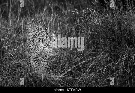 Adult female leopard (Panthera pardus) prowling in long grass, camouflaged by her spotted fur hide, Masai Mara, - Stock Photo