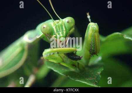 Spotted praying mantis eating another insect in Tamil Nadu, South India - Stock Photo