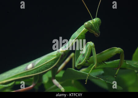 Spotted praying mantis, on leaves in Tamil Nadu, South India - Stock Photo