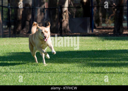 A dog happily running in a park in Sydney - Stock Photo