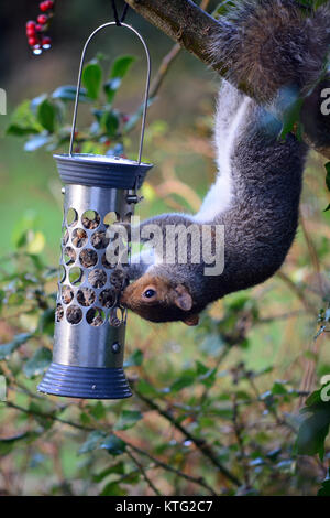 Aberystwyth, Wales, UK - An agile grey squirrel helps itself to Boxing Day lunch from a bird feeder in a garden - Stock Photo
