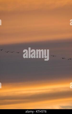 Birds flying during sunset - Stock Photo