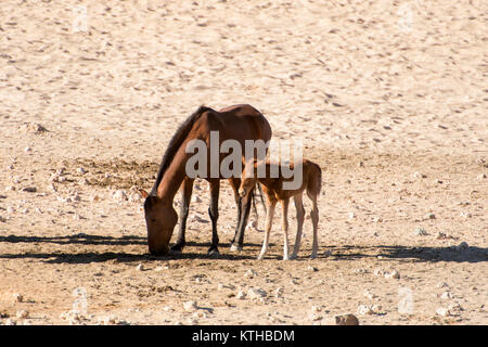 Wild horses of the Garub in Namibia; a small herd of feral horses surviving in the harsh desert around Garub where - Stock Photo