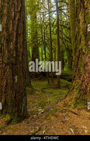 Ancient Groves Nature Trail though old growth forest in the Sol Duc section of Olympic National Park in Washington, - Stock Photo