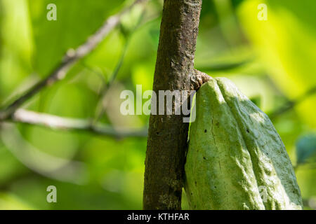 Close up of yellow-orange cacao cocoa fruit or pod in the sunny day on Theobroma cacao tree. Theobroma cacao also called the cacao tree and the cocoa Stock Photo